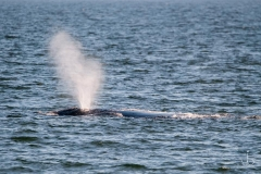 north atlantic right whale spouting a magnificant plume